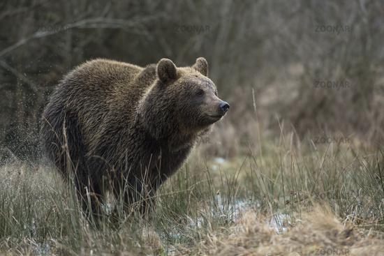 running fast through a wet meadow... European Brown Bear *Ursus arctos*