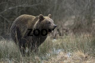 in Eile... Europäischer Braunbär *Ursus arctos*