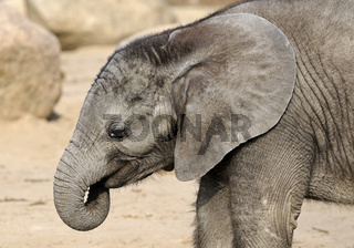 Afrikanische Elefant, Loxodonta africana, mit Jungen