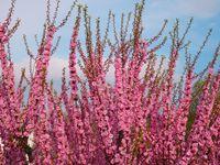 Blossom of pink sakura twigs