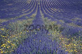 Lavendel, Puimichel, Haute Provence, Frankreich