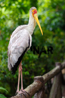 white stork sitting on bridge railings, ciconia, at rainy day.