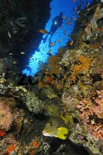 Taucher an buntem Korallenriff mit Goldband Süßlippe