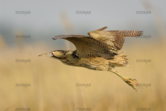 in flight... Eurasian Bittern *Botaurus stellaris*