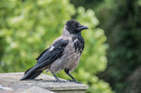 Corvus corone, black and grey carrion crow