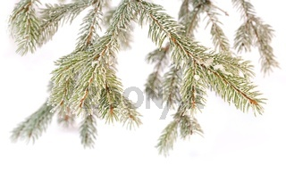Detail snowy branch