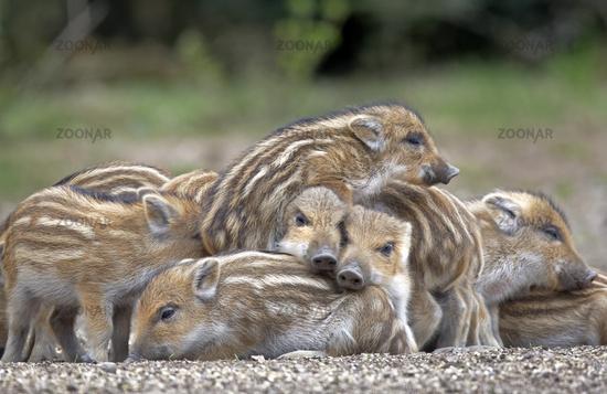 Wild Boars (Sus scrofa), piglet, group, Schleswig-Holstein, Germany, Europe