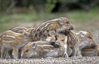 Wildschweine (Sus scrofa), Frischlinge, Gruppe, Schleswig-Holstein, Deutschland, Europa