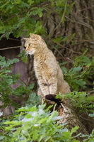 Attentive house cat / Felis catus outdoors in a tree