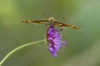 Knapweed Fritillary Butterfly, Melitaea phoebe, Flockenblumen Scheckenfalter