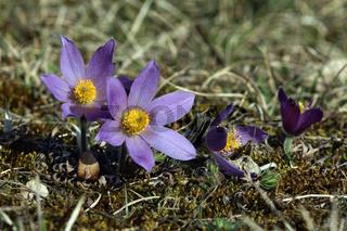 Kuhschelle, Pulsatilla vulgaris, Pasque flower