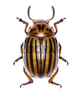 Potato beetle on white Background  -  Leptinotarsa decemlineata (Say 1824)