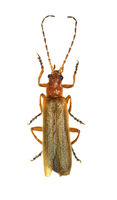Soldier Beetle on white Background  -  Absidia rufotestacea (Letzner, 1845)