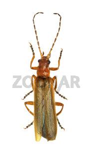 Soldier Beetle on white Background  -  Absidia rufotestacea (Letzner, 1845)