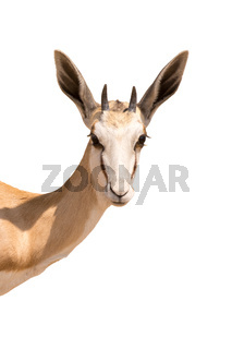 Portrait of a Springboks head, isolated