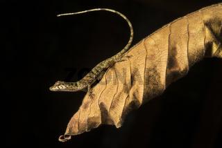 Neotropische Saumfingerechse (Anolis sp.), Choco forest, Ecuador