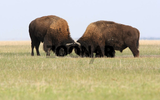 Two wild buffalos fights