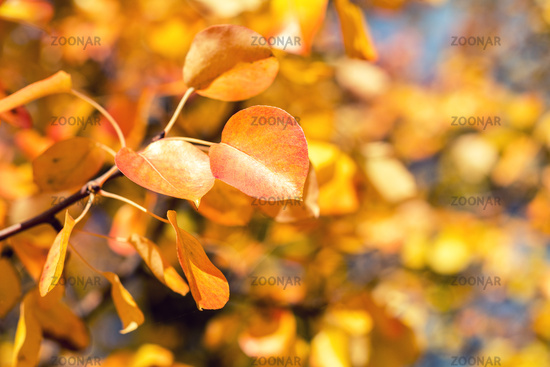 Branch pear with red yellow foliage, autumn leaves on blue sky background at fall time.