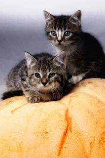 Katzen auf Kürbis