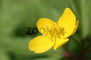 Blüte des Gelben Windröschens