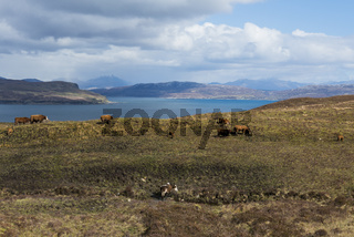 Cows on Isle of Skye