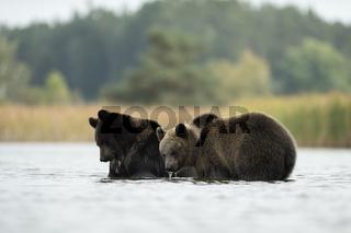 wasserliebend... Europäischer Braunbär *Ursus arctos*