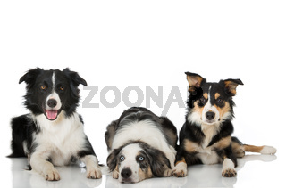 Drei Border Collies