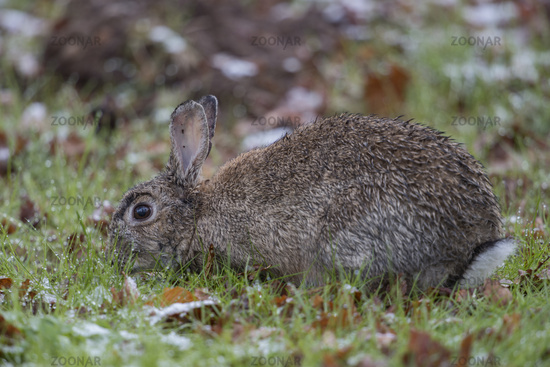 hard weather conditions... European Rabbit *Oryctolagus cuniculus*