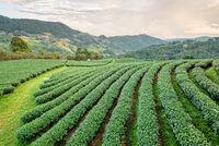 Landscape of green tea plantation