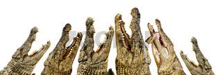 Krokodil zeigt seine Zähne