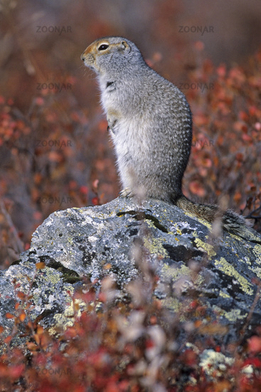 Arctic Ground Squirrel hibernates over winter  -  (Parka Squirrel - Photo adult)