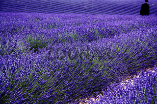 Lavendelfeld, Plateau Valensole, Provence, Frankreich