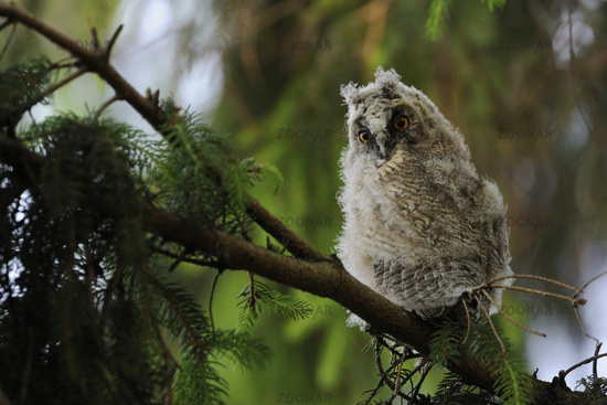 Long Eared Owl * Asio otus *, young bird, looks funny