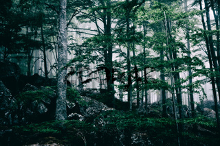Foggy dark forest