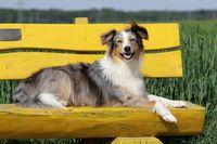 lazy Australian shepherd dog