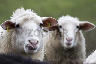 2 Ostfriesische Milchschafe