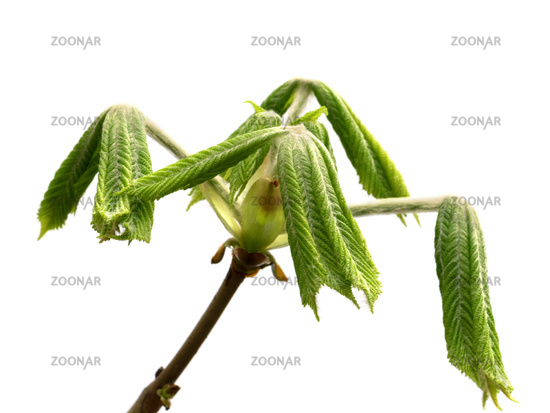 Spring twigs of horse chestnut tree with young green leaves