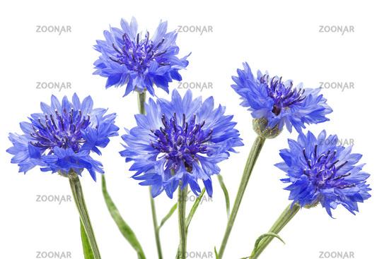 cornflower or hurtsickle, Centaurea cyanus