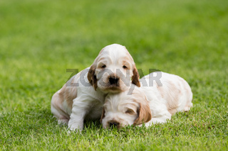 two small purebred English Cocker Spaniel puppy