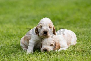 two small purebred English Cocker Spaniel puppy