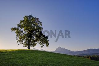 Einzelne Stieleiche (Quercus robur), bei Füssen, dahinter der Säuling, 2047m, Ostallgäu, Bayern, Deutschland, Europa