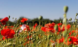 Mohnblumen im Getreidefeld 12