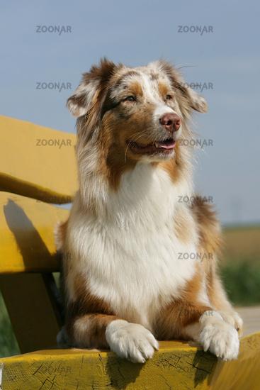 Australian shepherd puppy red-merle colored