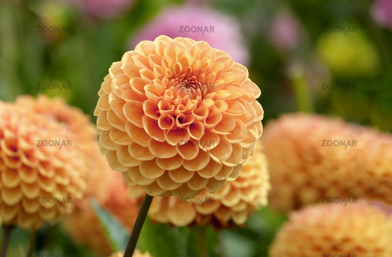 Ball-Dahlie (Dahlia) variety Maren