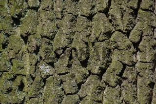 Stamm, Rinde einer Eiche (Quercus)