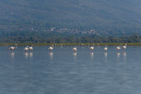 Greater Flamingo starting at Kerkini Lake, Phoenicopterus roseus