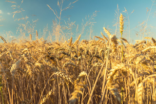 Agricultural fragmental panorama of the wheat field
