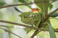 Common European Chameleon, Chamaeleo chamaeleon, Europaeisches Chamaeleon
