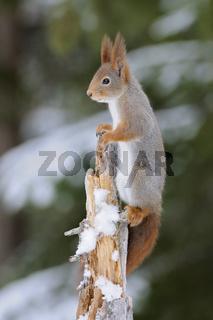 hoch hinaus... Europäisches Eichhörnchen *Sciurus vulgaris*