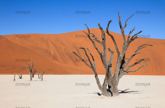 Dead trees and dunes in a salt pan of namib desert.